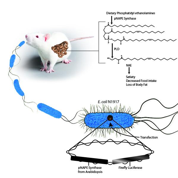 Rat Diagram