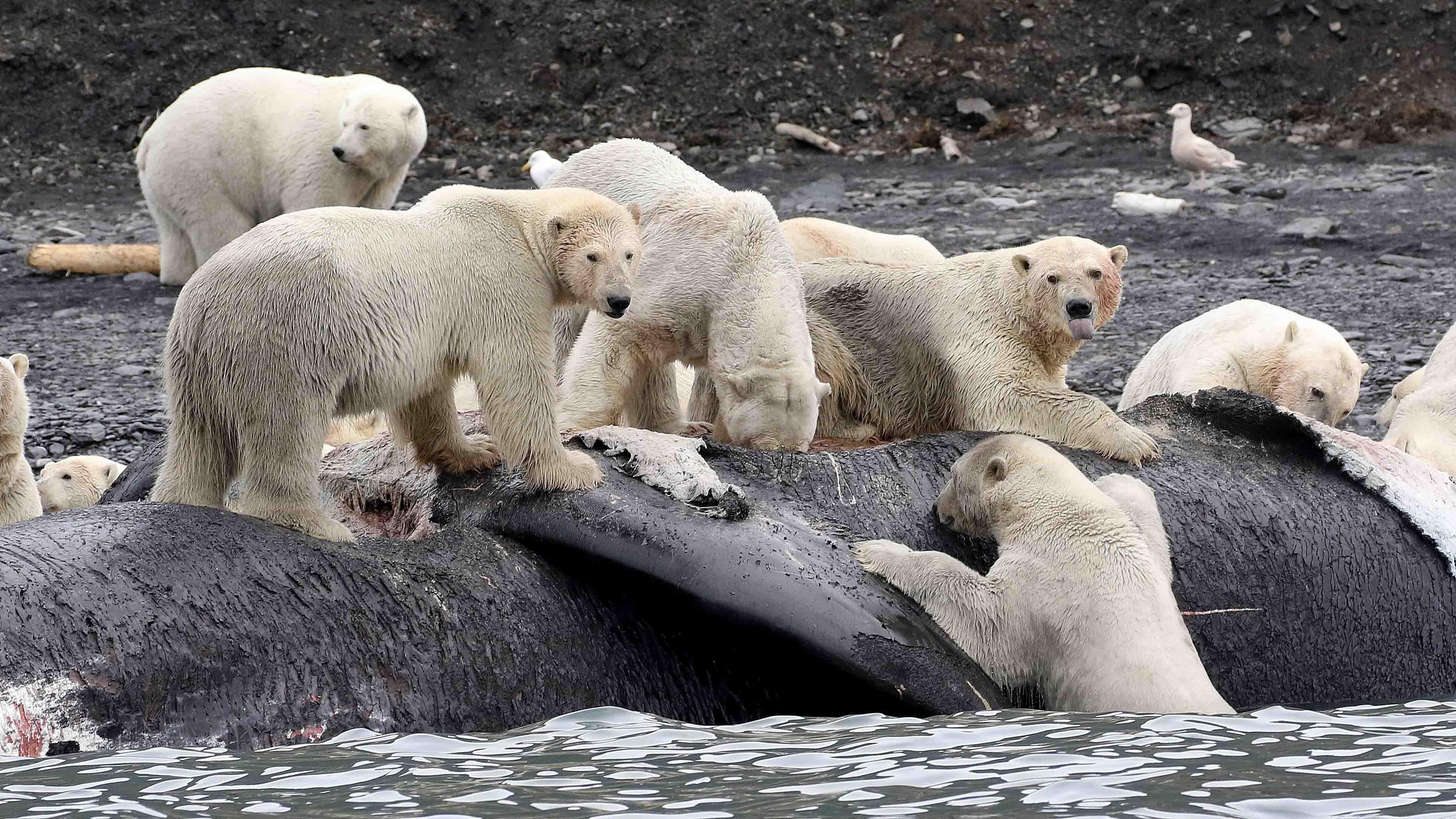 LaidreFEE_Wrangel Island scavenging_smaller